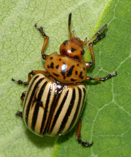 Leptinotarsa Decemlineata (Colorado Potato Beetle