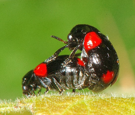 Cryptocephalus? mating - Babia quadriguttata - male - female