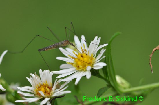 Unknown insect (IN363) - Limonia communis