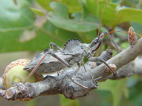 Gray Insect - Arilus cristatus