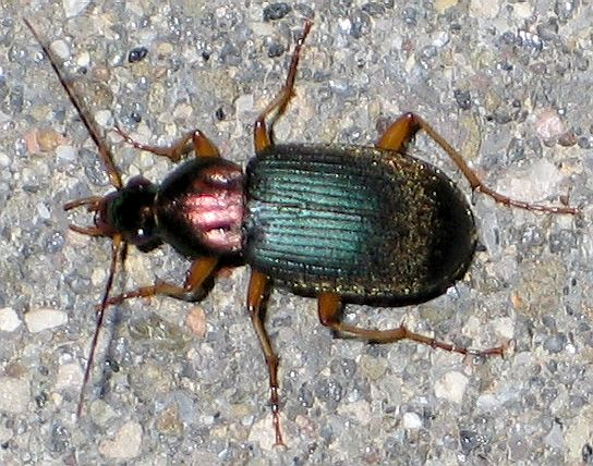 green-and-purple beetle - Chlaenius tricolor