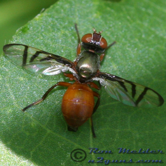 Signal Fly - Rivellia - female