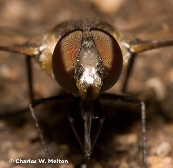 Bee Fly - Exoprosopa albifrons
