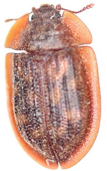 Trogossitidae Ostoma? - Peltis pippingskoeldi