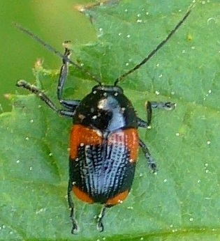 beetle - Cryptocephalus notatus