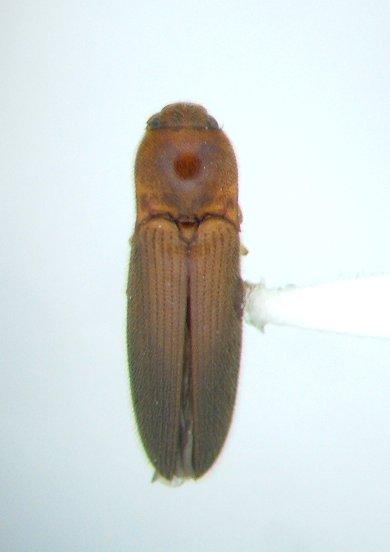 Glyphonyx 01 - Glyphonyx brevistylus