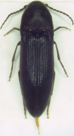 > - Onichodon canadensis