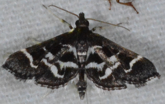 shawl - Diasemiodes janassialis