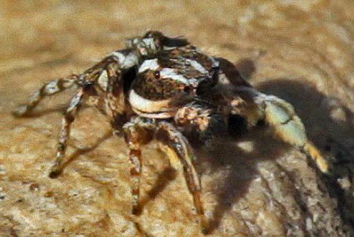 Jumping Spider - Habronattus mataxus - male
