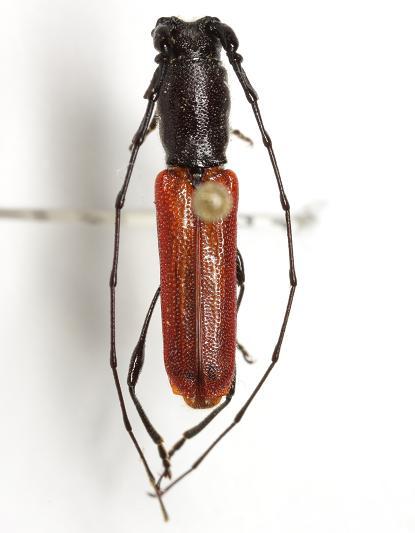 Ancylocera bicolor (Olivier) - Ancylocera bicolor - male
