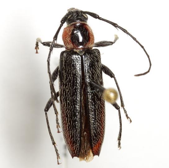Stenosphenus notatus (Olivier) - Stenosphenus notatus