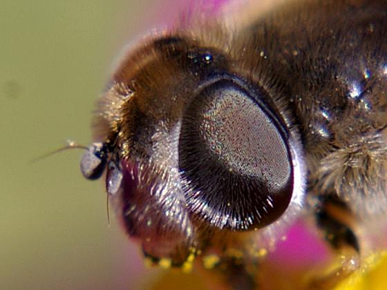 Syrphid Fly - Eristalis hirta - female
