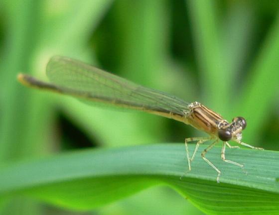 Double-striped Bluet - Enallagma basidens - female