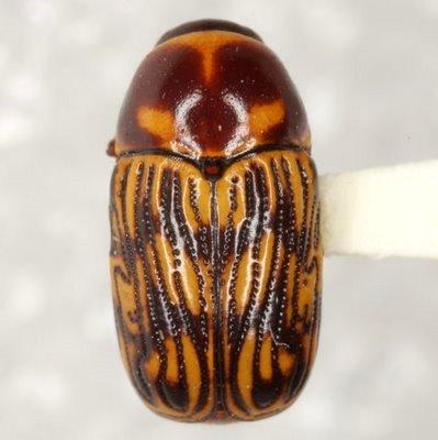 Cryptocephalus atrofasciatus Jacoby - Cryptocephalus atrofasciatus