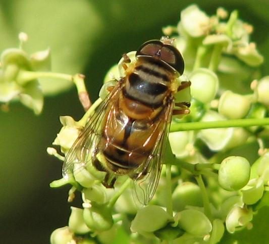 Syrphid - Palpada vinetorum - male