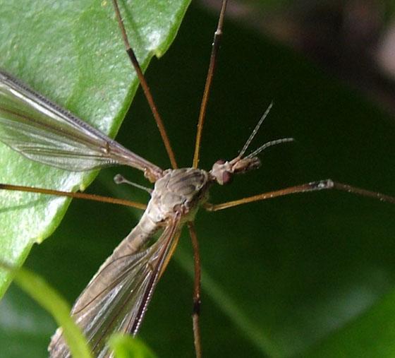 Marsh Cranefly - Tipula oleracea - male