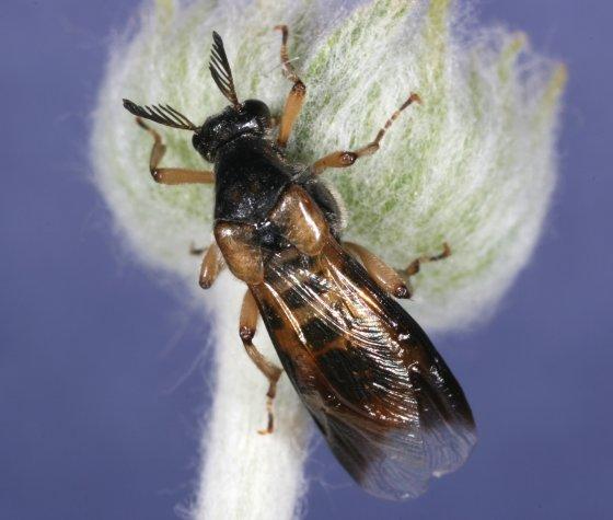 unknown insect 1 - Ripiphorus vierecki - female