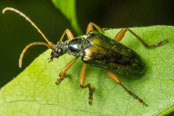 Gaurotes cyanipennis