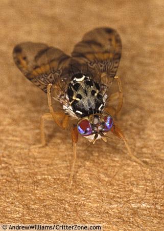 Mediterranean Fruit Fly - Ceratitis capitata - male