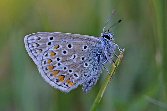 Polyommatus icarus - Common Blue - Polyommatus icarus