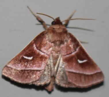 Marsh Fern Moth - Hodges#9629 - Fagitana littera