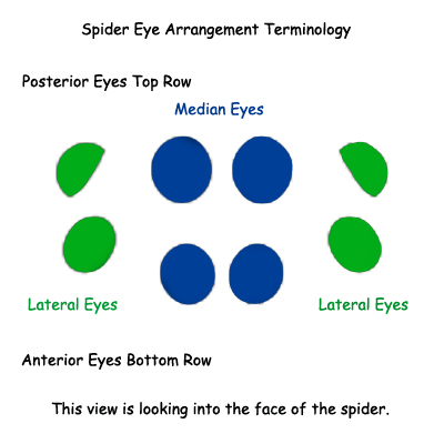 Spider Eye Terminology