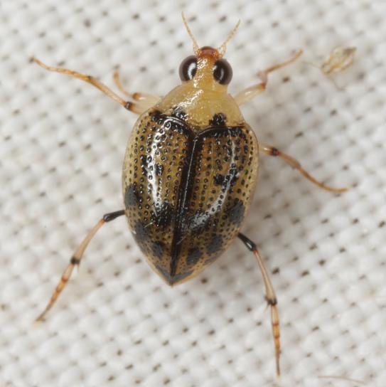 Peltodytes sexmaculatus Roberts - Peltodytes sexmaculatus