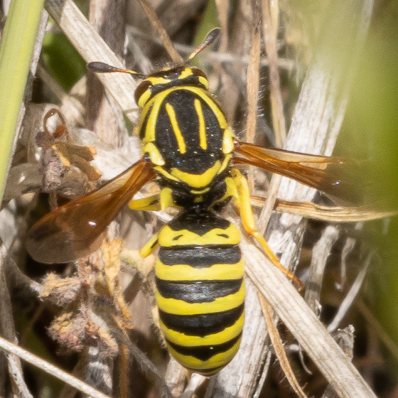Pollen Wasp, maybe Pseudomasaris coquilletti? - Pseudomasaris coquilletti - female
