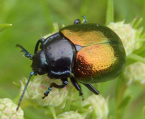 Prairie beetle - Chrysolina auripennis