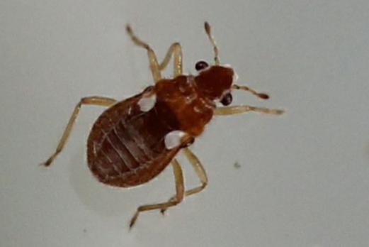 Hebridae