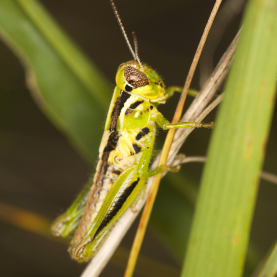 Red-legged Grasshopper - Melanoplus femurrubrum - male