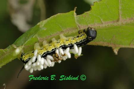 Catalpaworm -  sphinx moth caterpillar - Ceratomia catalpae