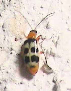 Blister Beetle ? - Paranapiacaba tricincta