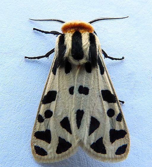 Arizona Moth - Apantesis proxima - male