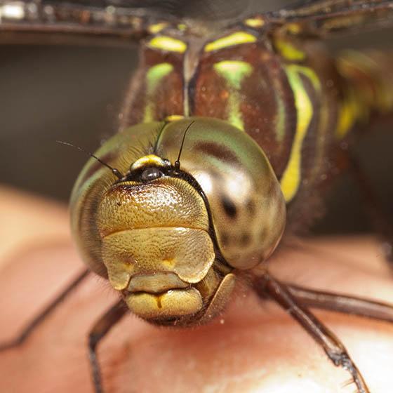 Aeshnidae ? - Aeshna umbrosa - female