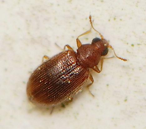 unknown beetle - Melanophthalma