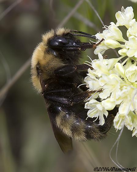 Bombus on Buckwheat - Bombus insularis - female