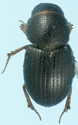 Micraegialia pusilla (Horn)  - Micraegialia pusilla