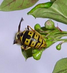 German yellowjacket queen feeding on nectar - Vespula germanica - female