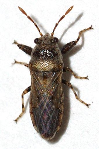 Bug - Phlegyas annulicrus