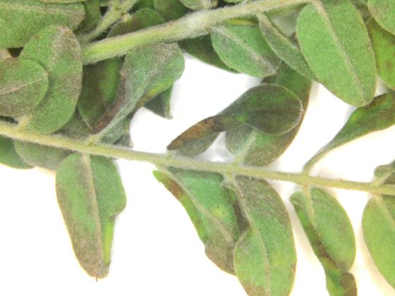 Cecidomyiidae, Lead Plant leaf edge curls
