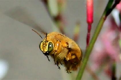 Male Carpenter Bee! - Xylocopa varipuncta - male