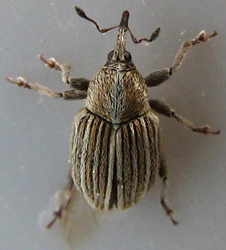 Striped Curculionid in California - Tychius lineellus