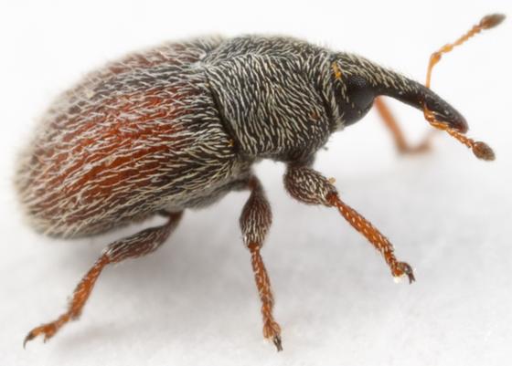 small weevil - Mecinus pascuorum