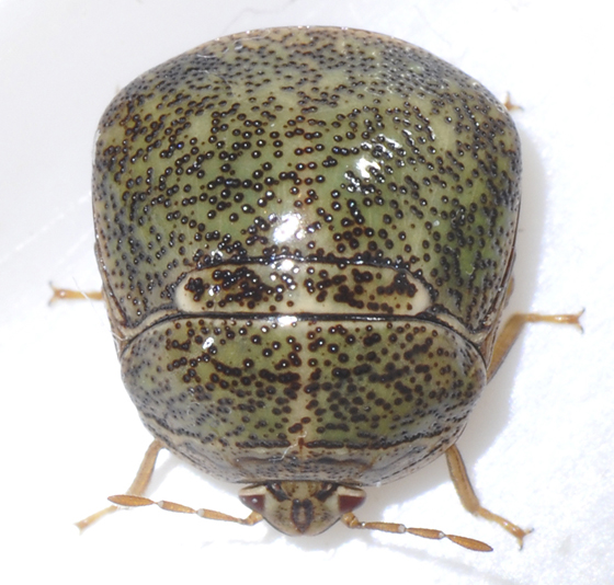 Bean Plataspid (Megacopta cribraria) - Megacopta cribraria