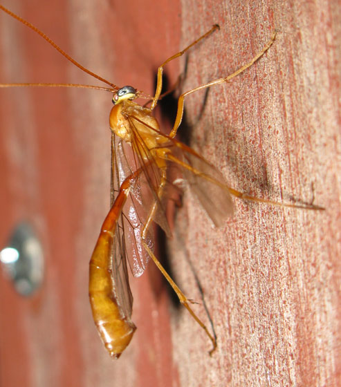 Ophion or Enicospilus? - Enicospilus