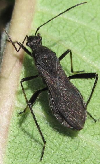 Broad-headed Bug? - Alydus eurinus