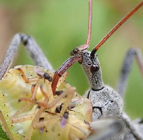 Arilus cristatus nymph eating Pentatomidae sp  - Arilus cristatus