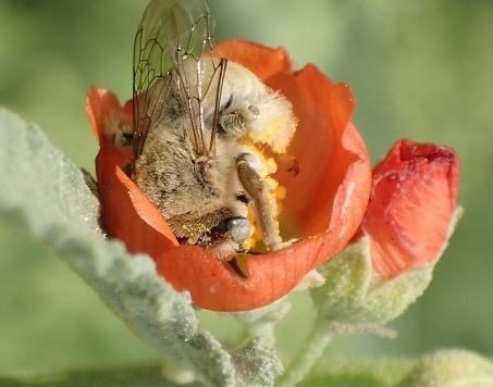 Diadasia in the freshly opened bud of a Sphaeralcea coccinea flower  - Diadasia ochracea - female