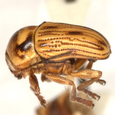 Cryptocephalus andrewsi E. Riley & Gilbert  - Cryptocephalus andrewsi - male
